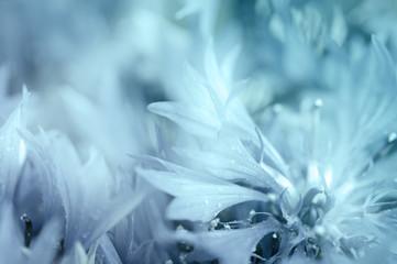 Cornflower defocused background