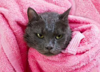 Cute gray soggy cat after a bath