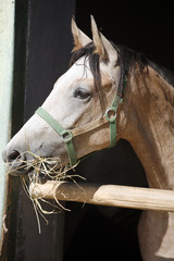 Beautiful purebred gray arabian horse standing in the barn door