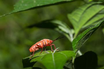 Orange kapuk bug