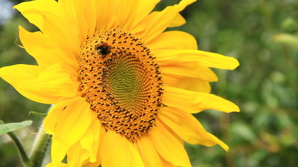 Bumblebee and Sunflower