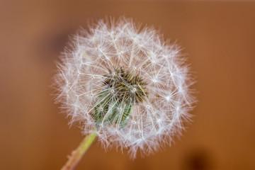 single isolated dandelion blowball