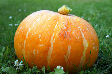 Orange pumpkin in the grass