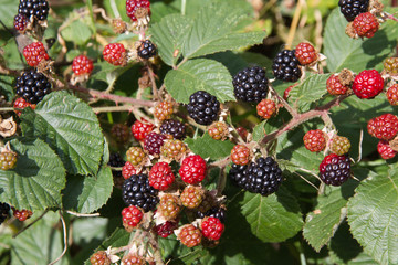 Blackberries in various stages of ripeness