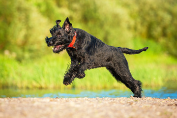 Giant schnauzer dog running on the beach