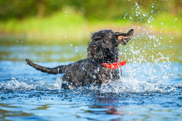 Giant schnauzer dog playing in the water
