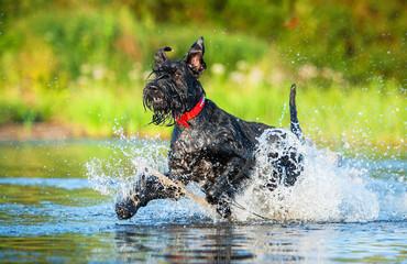 Giant schnauzer dog running in the water