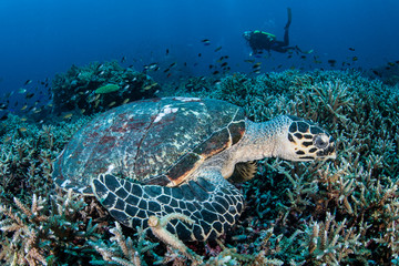 Hawksbill Turtle Laying on Reef