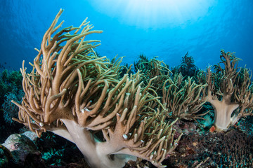 Coral Tentacles