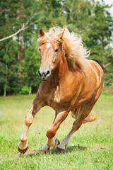 Beautiful horse running on the field in summer