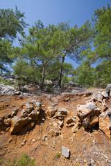 pine on a stone hillside.