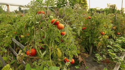 Garden Tomatoes Ripening on the Vine