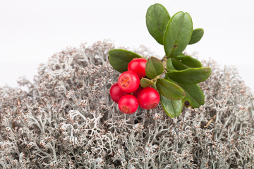 forest cranberries lying on reindeer moss