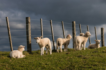 flock of lambs resting at fence