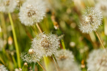 detail of dandelion seed heads