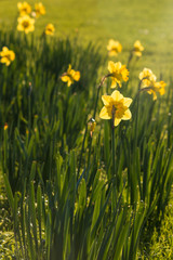 backlit daffodils on green meadow