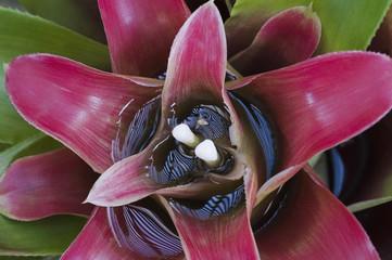 Bromelia do gênero Nidularium