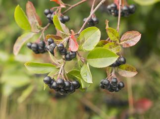 Chokeberries, Aronia