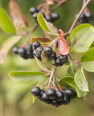 Chokeberries, Aronia