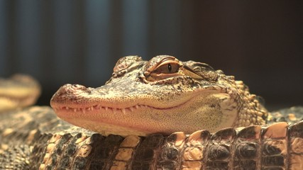 Crocodiles, Alligators, Reptiles, Wild Animals