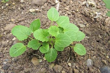 タチアオイの新芽