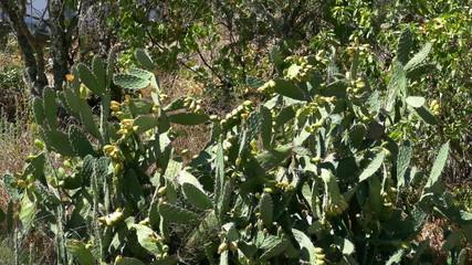 Opuntia Ficus - Indica, Portugal, Algarve
