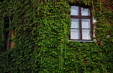 House covered with ivy