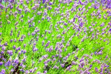 Field of lavender flowers field
