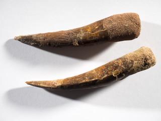 Dientes fósiles de un carnivoro prehistórico