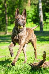 Shorthair dutch shepherd dog playing with ball