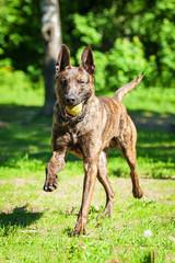 Shorthair dutch shepherd dog playing with ball