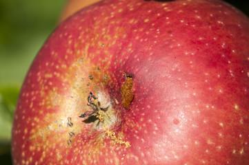 Roter Apfel mit Essigfliege