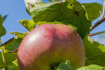 rotbackiger Apfel am Baum