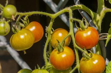 Reifende Tomaten an der Staude