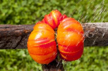 Tomate mit ansprechender Form im Regen