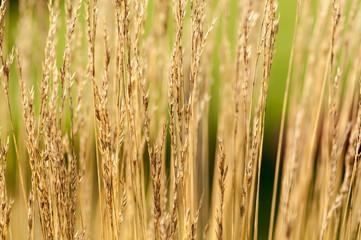 Hintergrund vertrocknetes Gras auf Grün