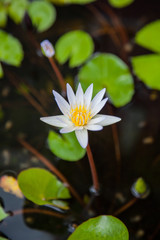 white lotus or water lily