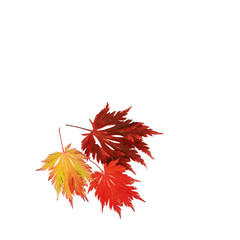 Japanischer Feuerahorn in Herbstfärbung