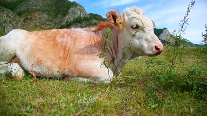 Cow Lying In The Grass, slider