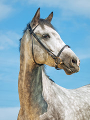 portrait of grey horse in bridle at blue sky background