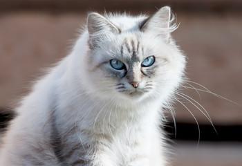 Кошка .Невская маскарадная.