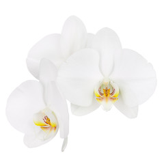 Six day old white orchid isolated on white background.