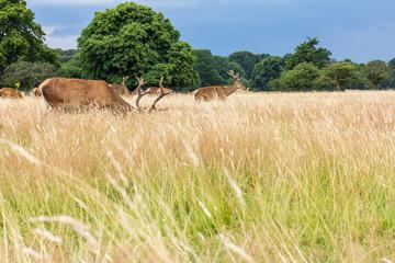 Richmond Park, Deer