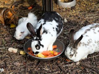 Kanninchen frisst Karotten