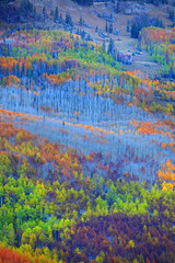 Colorful Aspen trees