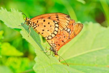 butterfly.