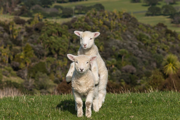 two jumpy lambs