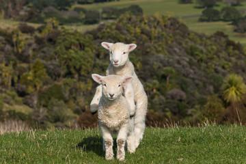 two jumpy lambs