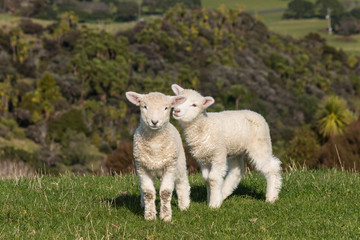 playful lambs
