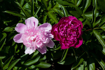 Pink and red peony